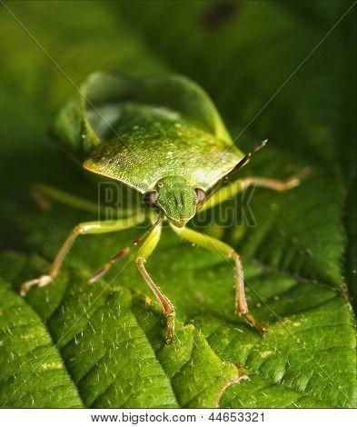 Front Of Wild Fly Hemiptera Nezara Virdula
