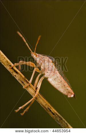 Hemiptera  Prasina In The Bush
