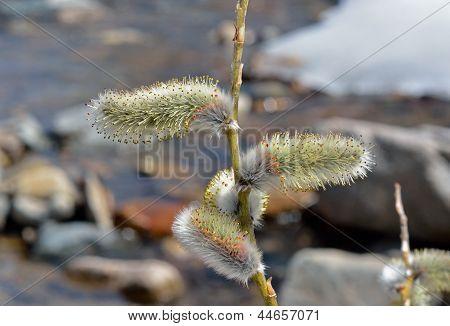 Blooming Osier