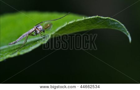 Mosquito  Green Leaf
