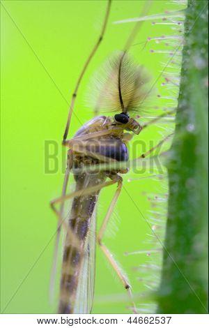 Side Of Wild Fly  Chironomidae Chironomus
