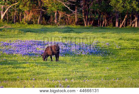 Cow In A Field Of Bluebonnets
