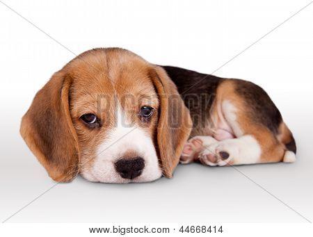 Tiny Beagle Puppy Wit Pitiful Eyes