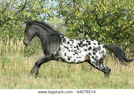 Beautiful Appaloosa Stallion Running In Autumn