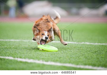 Border Collie  Catching Disc