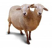 Genetic disorder and abnormality in biological DNA sequence with a farm sheep as a conjoined twin joined together in utero as a scientific and medical concept of a new breed of animal on a white background. poster