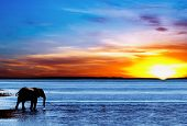 Drinking elephant silhouette Chobe national park Botswana poster