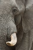 Elephant facial close-up showing eye and tusk. poster