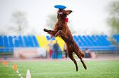 Irish setter catching disc in jump in competitions poster
