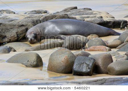 Fur Seal Napping