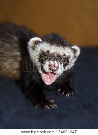 Funny Ferret Is Yawning
