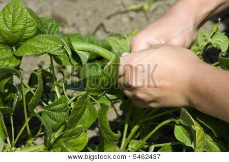 Girl Picking Green Beans
