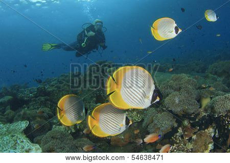 Tropical Fish (Butterflyfish) and female Scuba Diver exploring coral reef underwater poster