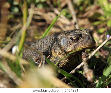 Common Toad (Woodhouse's toad) Warming In The Morning Sun poster
