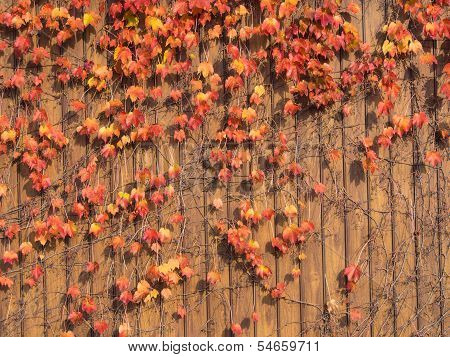 Ivy That Autumn Leaves On The Wall