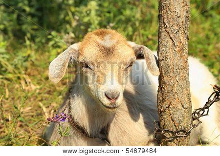 Funny goat puts