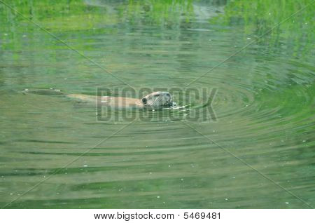 River Otter Robie Creek
