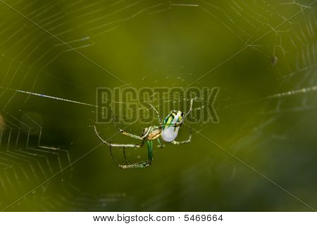 Orchard Orbweaver Spider In Her Web