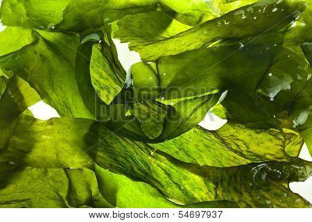 superficie mojada alga Laminaria (laminaria) cerrar fondo macro textura tiro