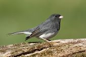Dark-eyed Junco (hyemalis) on a stump with a green background poster