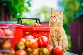 Red fluffy cat with fresh tomatos Stock Photo poster