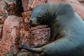 Sea lion in the peruvian coast at Ballestas islands Peru poster