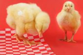 two young yellow chicks on food paper red background poster