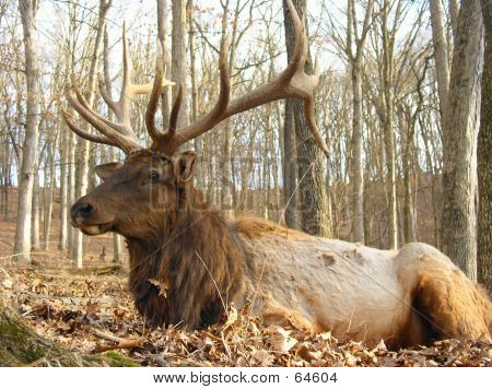 Full Grown Elk