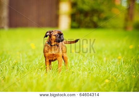 one beautiful griffon puppy outdoors in summer poster