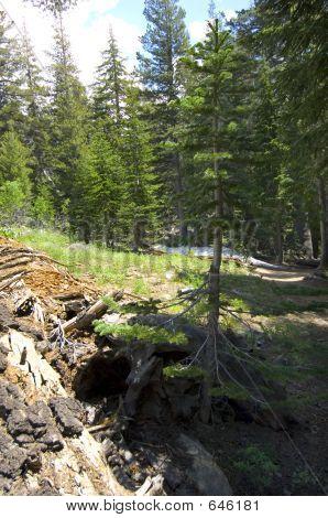 Evergreen In Stump