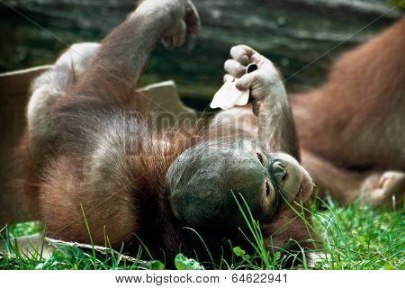 Cub Of Orangutan (pongo Pygmaeus)