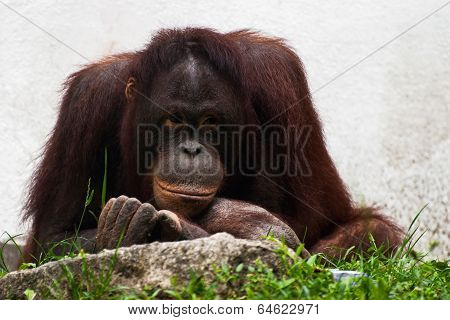 Female Of Orangutan Relaxing (pongo Pygmaeus)