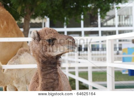 A beautiful baby camel staring at camera