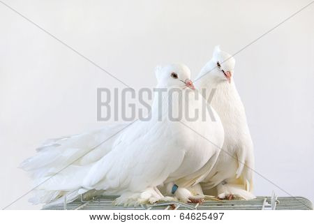 A pair of beautiful white dove