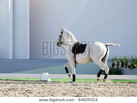 A beautiful white horse