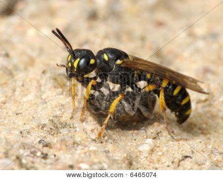 Wasp Sphex