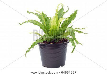 Asplenium nidus fern in pot isolated on white background