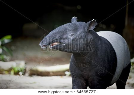 Southeast Asian Tapir