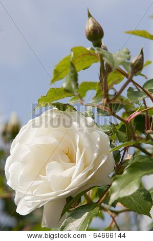 White Peony With Latent Bud