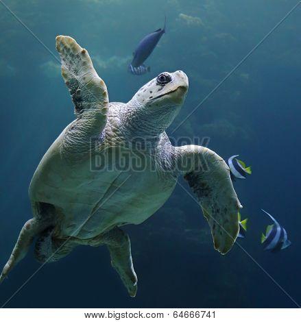 Close-up view of a Loggerhead sea turtle