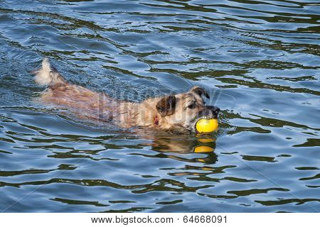 Happy Rescue Dog Swimming With Yellow Ball