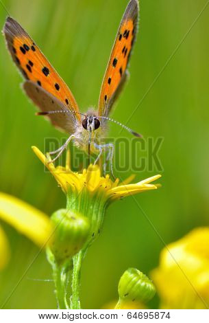 Boloria aquilonaris (Cranberry Fritillary) butterfly in spring time