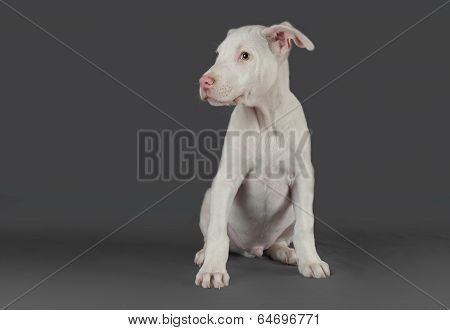 Male Argentinian Dogo Puppy