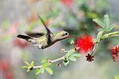 Female Broad-billed Hummingbird feeding on Fairy Duster Flower poster