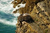 Stork nest at the edge of the cliff Cabo Sardao Alentejo Portugal poster