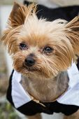 small Yorkshire terrier wearing a tux standing with severe allergies poster