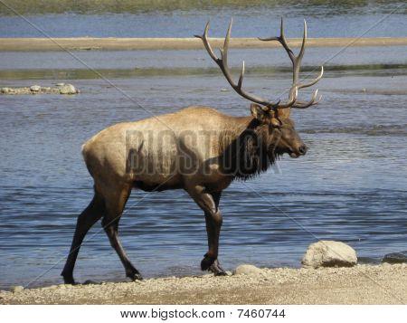 bull elk  on  lake estes, estes park, colorado poster