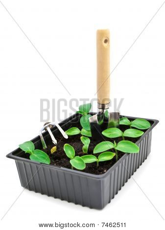 Sprouts In Box