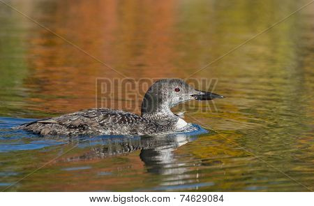 Young Loon With Autumn Colors