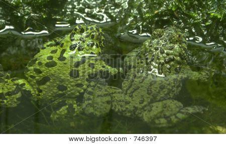 Chineese Fire Bellied Toads - Discoglossidae - Bombina Orientali